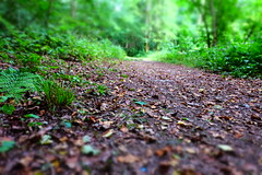 woodland path (MattGriff76) Tags: trees fern nature leaves forest path