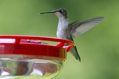 nature-8-24-2014-85.jpg (Scott Alan McClurg) Tags: life wild summer bird nature female hummingbird wildlife eat perch feed delaware humming rubythroated smallbirds