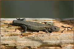Tailless Common Lizard (Full Moon Images) Tags: nature reptile wildlife bcn reserve lizard national trust common fen cambridgeshire woodwalton nnr greatfen greatfenproject