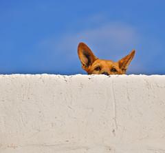 Shyly curious (G.hostbuster (Gigi)) Tags: sky dog wall fuerteventura ghostbuster elcotillo gigi49