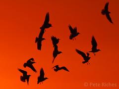 AA248906 : Dawn Gulls (pete riches) Tags: winter sea seagulls ice beach seaside sand frost waves cliffs seawall erosion northsea promenade flotsam seabirds groynes eastyorkshire hornsea breakwaters holderness seadefences coastalerosion peteriches