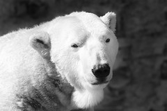 Here's My Story... (Theodore A. Stark) Tags: bear usa male canon outdoors march spring colorado unitedstates adult wildlife denver polarbear lee 7d co polar denverzoo theodore 2014 denvercounty theodoreastark tedstark tstarkcom