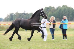 Harbons Friserpremiering (Mic-Photography) Tags: horses black equestrian trot stallion equine foal friesian