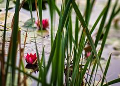 Rosa vannliljer (Birgit F) Tags: flowers lensbaby waterlilies grimstad vannlilje dmmesmoen lensbabycomposer edge80 rosavannlilje