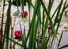 Rosa vannliljer (Birgit F) Tags: flowers lensbaby waterlilies grimstad vannlilje dømmesmoen lensbabycomposer edge80 rosavannlilje