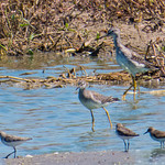 Greater & Lesser Yellowlegs, Sandpipers thumbnail