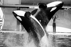 Orque - Orca (Benjamin Jaubert) Tags: sea white black france blackwhite nikon nb killer whale orca mammals antibes marineland bestiole orque d3200 18105mm