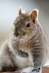 Eastern Gray Squirrel (sunnyf16) Tags: camera winter portrait tree robert nature animal pose lens landscape photography prime model nikon squirrel flickr dof seasons background wildlife telephoto dslr visual gq afs foreground patience lean naturephotography nikonprime wildlifeandnature sunnyf16 wildlifewednesday robertvisconti closerlookwldlf closerlookwildlife followmeontwittercloserlookwldlf