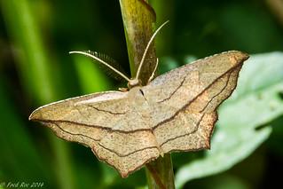 Cross-lined Wave Moth [Timandra amaturaria]