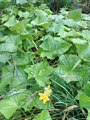"Heirloom Boston Pickling Cucumber Patch • <a style=""font-size:0.8em;"" href=""http://www.flickr.com/photos/54958436@N05/14970924932/"" target=""_blank"">View on Flickr</a>"