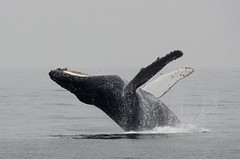 Humpback whale breaching in Monterey Bay (Demed) Tags: california sea water boat monterey seal whales