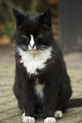 Old black and withe cat in the zoo (Kitty Terwolbeck) Tags: white black animal cat zoo kat zwart wit dier artis dierentuin artisroyalzoo