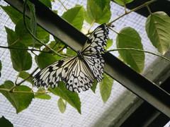 2008-10-18 Tropical Wings _54 (Velda Tiger Lily Varney) Tags: camera pentax compact cameraequipment pentaxoptiol30 brandmain