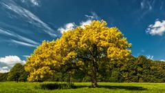 Last Days of Summer (L I C H T B I L D E R) Tags: park summer tree seasons sommer jahreszeiten cologne august kln ash baum stadtwald urbanpark esche cityforest excelsiorfraxsinus