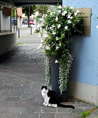 7369 Sehr liebe Katze, die mich freundlich auf der Strasse begrt. (Fotomouse) Tags: cats animals tiere blackwhite flickr schwarzweiss katzen fotomouse