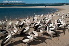 Where is HE? (Jocey K) Tags: sky seagulls seascape pelicans birds clouds sand labrador australia queensland goldcoast