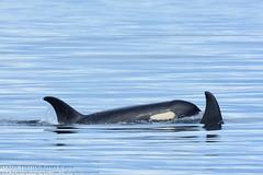Samish (J14) and Se-Yi-Chn (J45) (Hysazu) Tags: wild britishcolumbia wildlife dolphins pacificnorthwest whales orca killerwhales orcinusorca blackfish salishsea wildwhales islandadventures islandexplorer4 20150730