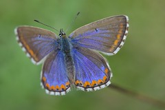 IMG_2947 (ullrichmartin) Tags: blue macro nature butterfly insect ngc natur npc falter makro insekt nahaufnahme schmetterling blauling hauhechelblauling
