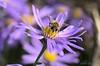 Butineuse d'automne (Photoslife) Tags: flowers fleurs garden nikon jardin bee abeille insectes waremme abigfave aliceseronval nikond7000