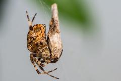 nom nom nom (Ben McLeod) Tags: macro animal spider eating web arachnid orbweaver orbweaverspider