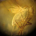 Fly in amber (Amber Formation, Middle Eocene; Yantarnyi, Samland Peninsula along the Baltic Sea, far-western Russia) 3