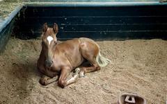 American Saddlebred Colt (nfin10) Tags: horse canon farm ky powershot american colt shelbyville g16 saddlebred undulata