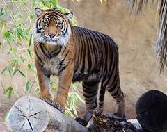 Watching Each Other (greekgal.esm) Tags: sumatrantiger tiger bigcat cat feline animal mammal carnivore indah losangeleszoo lazoo losangeles griffithpark california sony a77m2 a77mii sal70300g