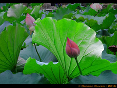Lotus-Flower#2 (Olivieri Cinematografia Digital) Tags: allshots amazing awesome bestoftheday colorful contrast creative digital exposure feelgoodphoto focus foto holidays ishootraw life masterpiece moment nice nikon oliviericinematografiadigital outdoorphotography photographylovers photographysouls photooftheday rodrigo rodrigoolivieri sweet traveladdict travellife travelphoto travelphotography traveltheworld aroundtheworld shooting olivieri china macau lotus lotusflower flower
