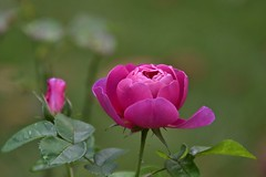 Rose (Nige H (Thanks for 6.5m views)) Tags: nature flower rose pink pinkrose closeup macro petals rosepetal