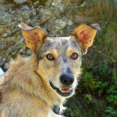 Alma baubau (Il cantore) Tags: cane dog testa head occhi eyes sguardo glance orecchie ears dof muso snout ritratto portrait animale animal