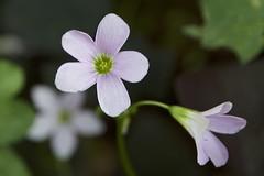 Oxalis plant blossoms (Pejasar) Tags: wood sorrel woodsorrels oxalis plant nature bloom blossoms garden tulsa oklahoma