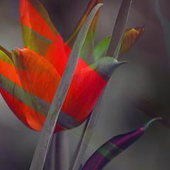 tulip (robertharperholdcroft) Tags: flower plant garden beautiful tulip orange colour nature