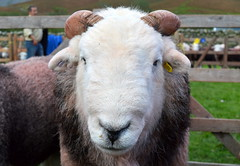 Picture of a Herdwick sheep - 2 (Tony Worrall) Tags: wasdale head show shepherds meet cumbria cumberland lakes farm farmer event village scene festival rural countryside country sunlit outdoors england northern uk update place location north visit area county attraction open stream tour welovethenorth northwest unitedkingdom sheep wool animal beast natural live outside pen farmed cute
