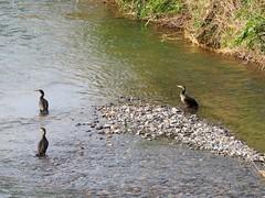 Great cormorants () (Greg Peterson in Japan) Tags: egretsandherons shiga birds cormorants wildlife deba japan yasugawa ritto rivers shigaprefecture jpn