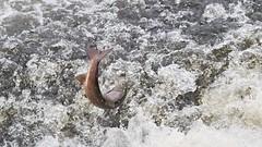 migrating salmon, Severn weir, Shrewsbury (David_W_1971) Tags: salmon river severn