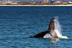 Humpback Whale (stevepaustin) Tags: whale tail breach goldcoast humpback migration sea ocean wildlife queensland australia