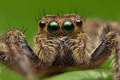 Green Eyes (Rinaldo R) Tags: salticidae jumper ragno 5x 51 extrememacro macro canonmpe watamu kenya jumpingspider closeup handheldstack focusstacking africa