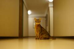 Lizzie in the hallway (DizzieMizzieLizzie) Tags: abyssinian aby beautiful wonderful lizzie dizziemizzielizzie portrait cat chats feline gato gatto katt katze katzen kot meow mirrorless pisica sony