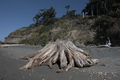 Driftwood Stump (Heath & the B.L.T. boys) Tags: oldgrowth stump driftwood beach sand olympicpeninsula