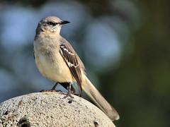 Northern Mockingbird on fencepost HDR 20161118 (Kenneth Cole Schneider) Tags: florida miramar westbrowardwca