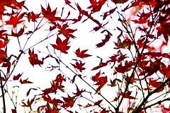 IMG_8362 (Juan Manuel Sanchez) Tags: otoo adrianospicture juanmanuelsanchez hojas arce rojo niebla fog campo montaa madrid espaa canon d60 naturaleza maana cielo silueta contraluz cesped hierba bosque norte
