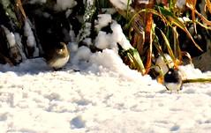 Sparrow commune entrance (~nevikk~) Tags: birds windowshot neighborsyard birdfeeder southwindowsnowbirdsetc11192016