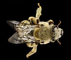Diadasia rinconis, back, Pima Co., AZ_2016-09-30-17.20 (Sam Droege) Tags: zerenestacker stackshot geologicalsurvey unitedstatesgeologicalsurvey departmentoftheinterior droege biml beeinventoryandmonitoringlaboratory bug bugs canon closeup macro insect patuxentwildliferesearchcenter pwrc usgs dofstacking stacking canonmpe65 taxonomy:binomial=diadasiarinconis bee bees apoidea hymenoptera pollinator nativebee pimacounty arizona donharvey intern fuzzy cactus cacti