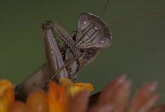 Praying Mantis (Klaus Ficker --Landscape and Nature Photographer--) Tags: prayingmantis praying closeup macro insect kentuckyphotography klausficker canon eos5dmarkii