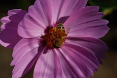 Bee suck nectar (t.kunikuni) Tags: jp       japan ibarakiken ibaraki hitachinaka hitachinakashi hitachiseasidepark  cosmos  bee