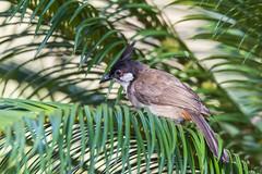 _DSC0263_LOGO (Ray 'Wolverine' Li) Tags: bulbuls bulbul pycnonotidae bird birds birding asia nature wild