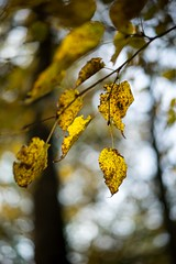 Leaves (Gr@vity) Tags: autumn leaf leaves herbst fall bokeh dof a7s sony zeissfe55mm18 nature natur