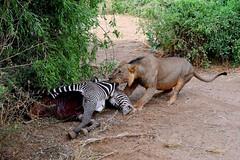 Lions pull a hidden Zebra Kill Carcass from one bush to another hiding place. (One more shot Rog) Tags: loin lions lioness kill zebras zebra carcass sambru samburunationalpark kenya bush ewasongiroriver ewasongiro nikon nikond500 lionskillzebra zebrakill rogersargentwildlifephotography onemoreshotrog pride bushcamps waterhole