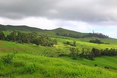 Kehei Hillside (milepost430media.com) Tags: maui pasture cattle grass green graze sky clouds gloomy grey dslr 70d wailea kehei peaceful beautiful hawaii paradise travel tourism journey trees