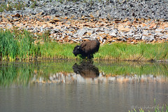 Summer Drink (RootsRunDeep) Tags: buffalo yellowstone nature wildlife rock layers water pond horn beast summer wyoming